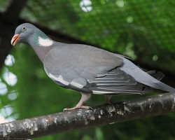 Вяхирь птица фото и описание