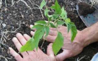 Как выращивать ограниченые по росту помидоры