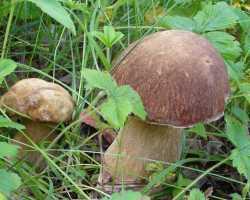 Как размножить грибы с помощью дрожжей