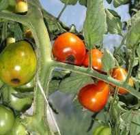 Вершинная гниль томатов как лечить и бороться