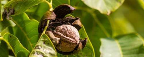 Дерево грецкого ореха фото и описание
