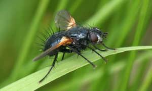 Капустная муха и как с ней бороться