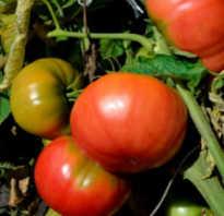 Обзор сорта томатов сахарный бизон его преимущества и недостатки